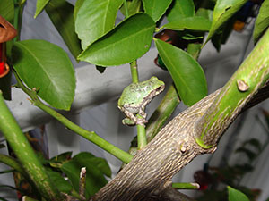 Waldo the tree frog camped out in our lemon tree for the summer.